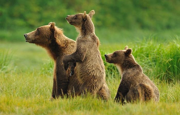 Три медведя. Фотография Марселя Ван Остена