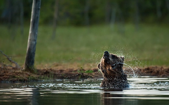 Бурые медведи на фотографиях Марселя Ван Остена
