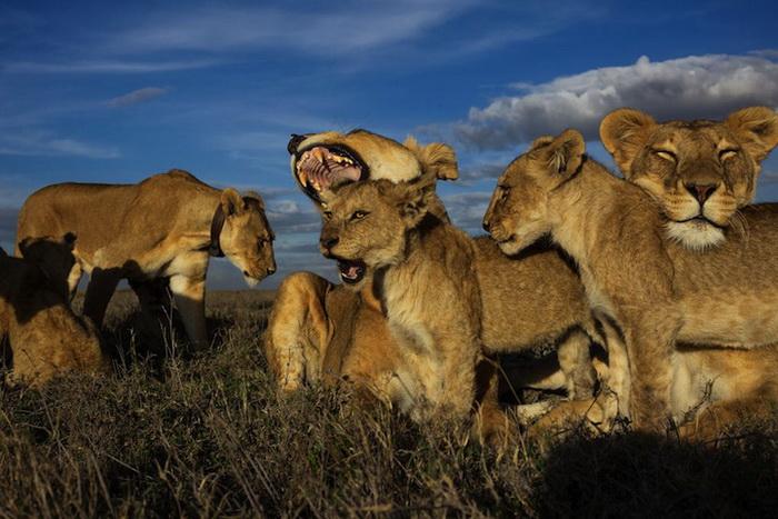 Львы и слоны на фотографиях Майкла Николса (Michael Nichols)