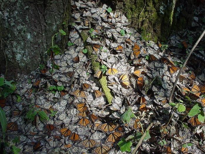 Ежегодная миграция бабочек Монарх в Мексику