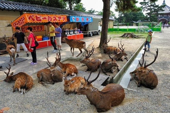 Олени в парке Нара (Япония)