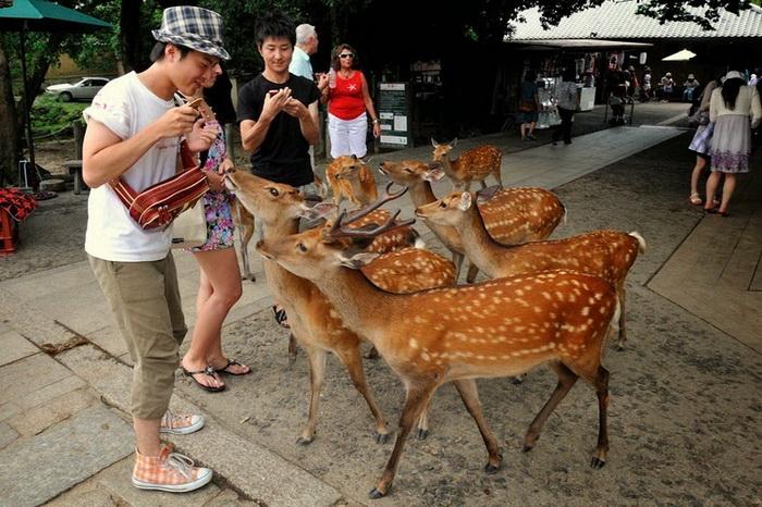 Нара - город, где живет 1200 оленей