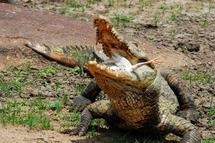 Курица - отличная приманка для крокодила