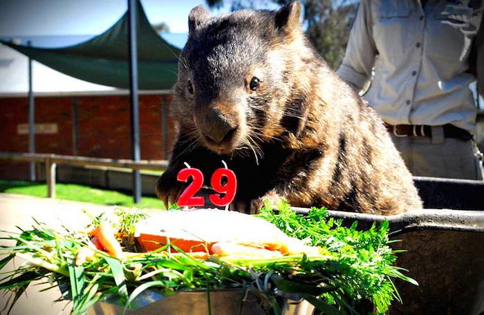 Очаровательный вомбат Патрик празднует 29-летие
