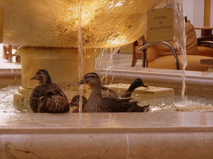 Традиция утиного купания в фонтане была заложена в 1932 году