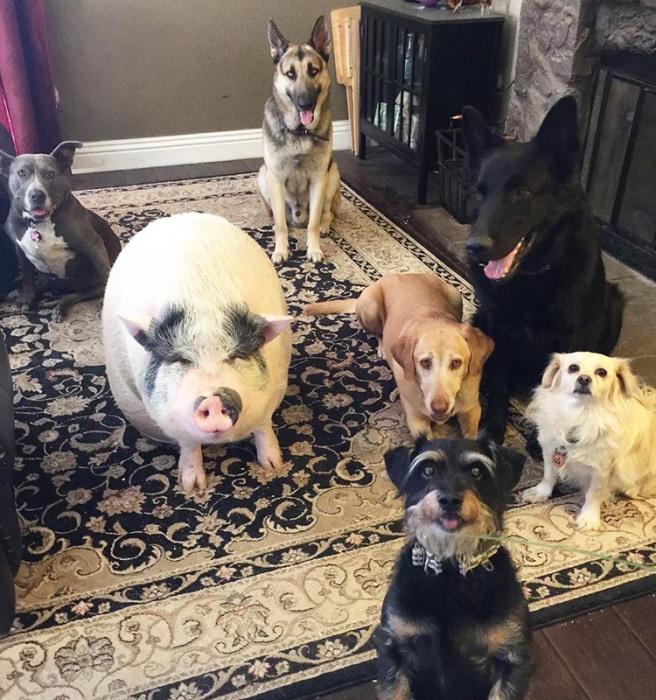 Поросенок Чоудер вырос с собаками и перенял их повадки.