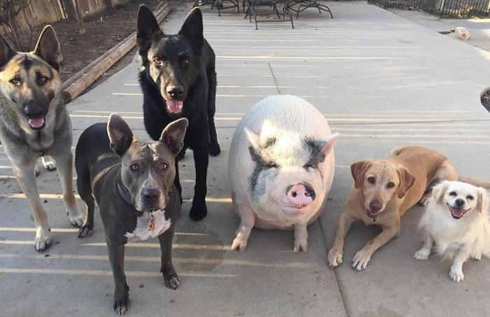 Необычная дружба поросенка с собаками.