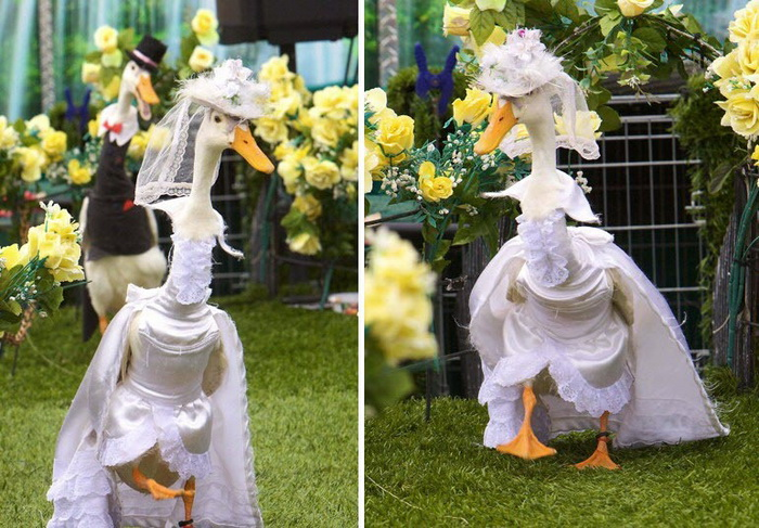 Pied Piper Duck Show: утиный показ мод в Сиднее