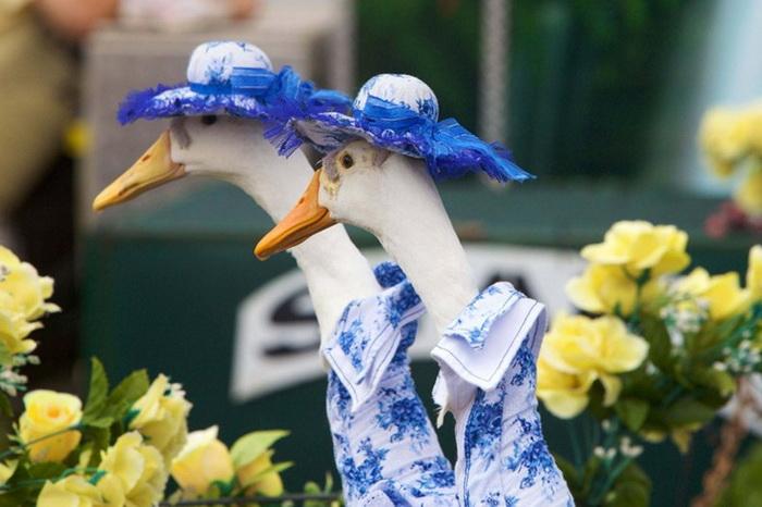 Pied Piper Duck Show: ������ ����� ��� � ������