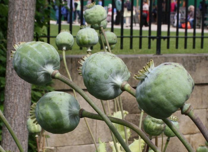 В парке Олнвик растут маки на клумбах