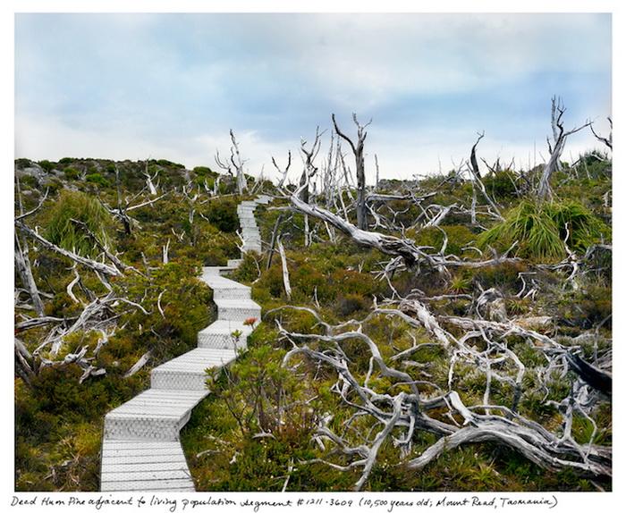 «The Oldest Living Things in the World»: фотокнига от Рейчал Сассман (Rachel Sussman)