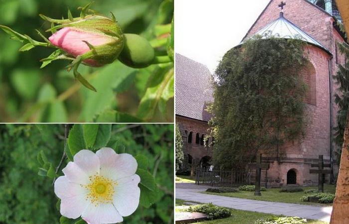 Тысячелетняя роза Хильдесхайма - уникальная природная достопримечательность.