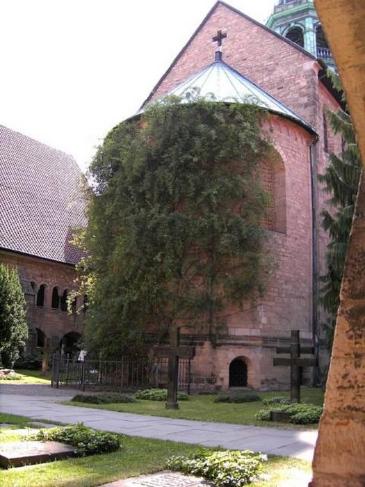 Стены древнего собора увиты побегами тысячелетней розы.