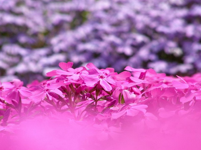 В парке Хицужияма расцветают белый, розовые и фиолетовые флоксы