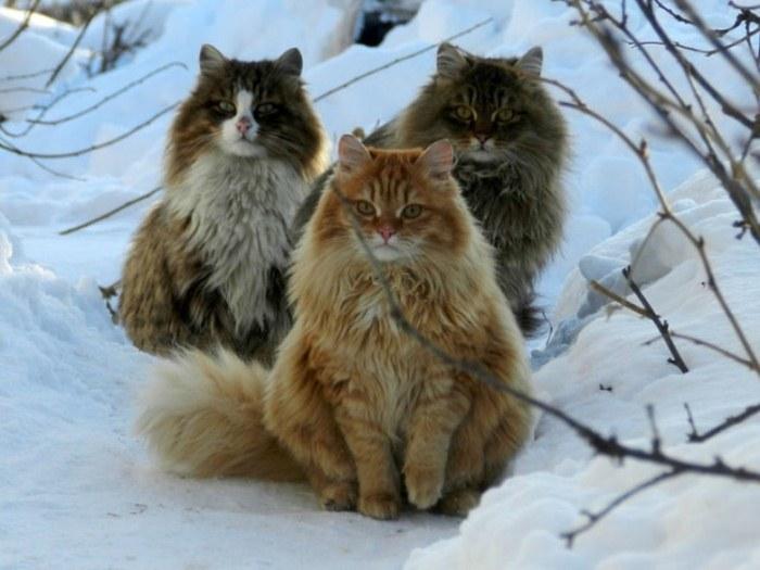 Сибирские коты Аллы Лебедевой.