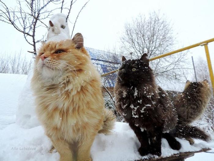Сибирские коты отлично переносят зиму и холод.