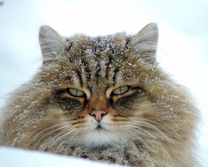 Сибирские коты - отличные охотники.