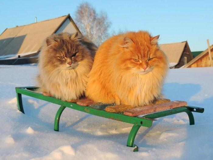 У многих котов огненно-рыжий окрас.