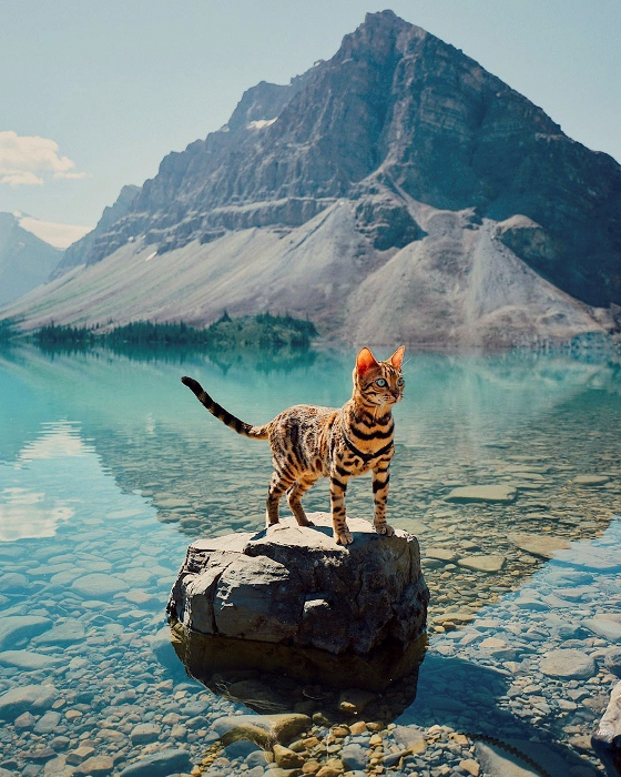 Бенгальская кошка отлично себя чувствует на лоне дикой природы.