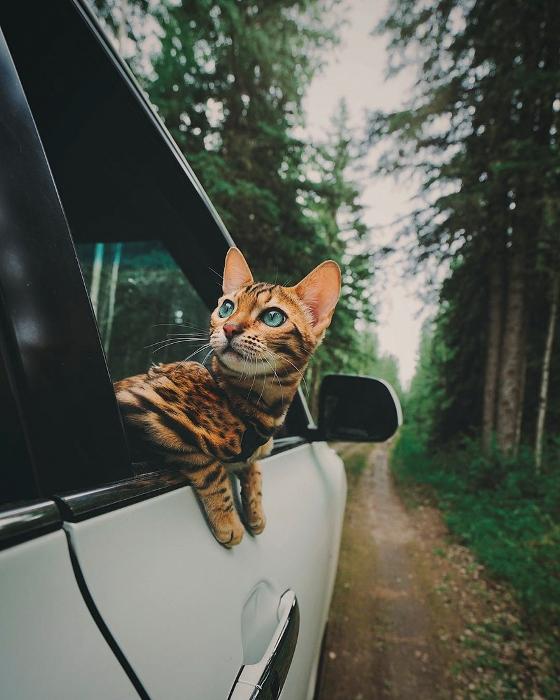 Кошка-путешественница.