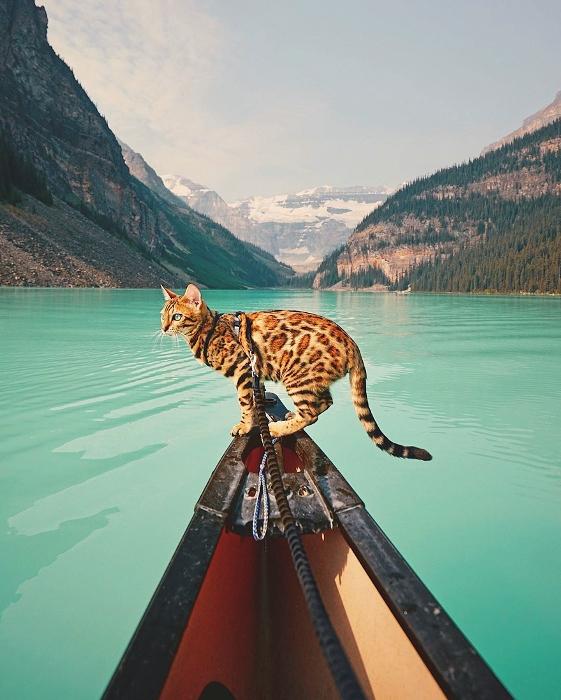 Кошка прекрасно переносит водные прогулки.