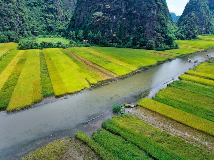 Желто-зеленые рисовые поля выглядят очень живописно