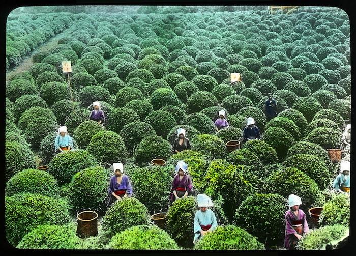 Сбор урожая на плантации зеленого чая