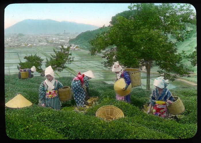 Женщины собирают чай в плетеные корзины