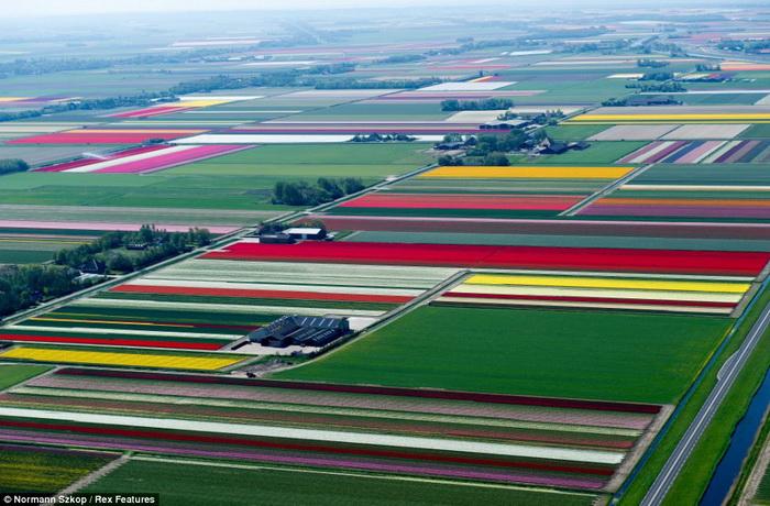 Поля тюльпанов в городе Анна-Павлова, Нидерланды.