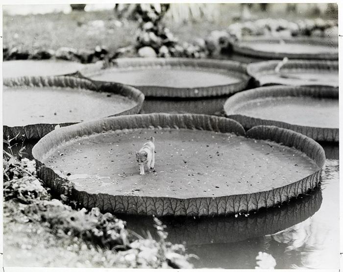 Котенок плывет на листе гигантской водной лилии