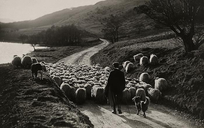 Следить за отарой овец пастуху помогает четверолапый друг