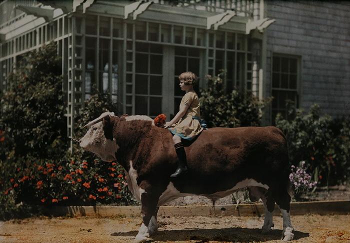 Ребенок верхом не герефордском быке