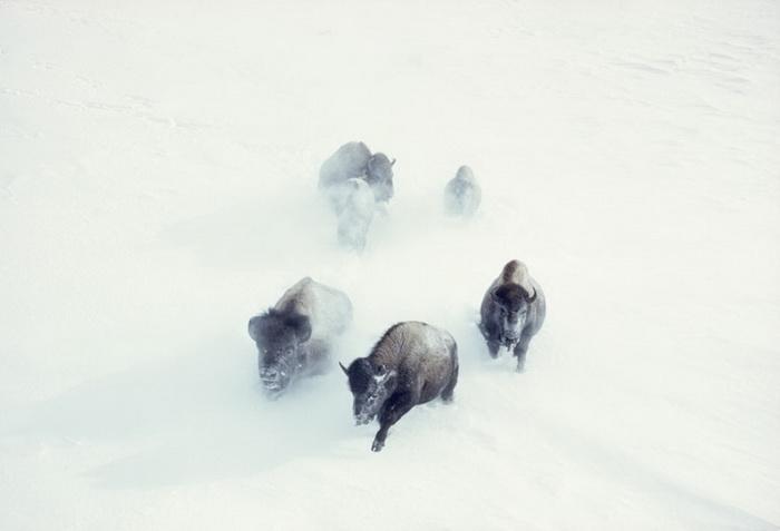 Американские бизоны пробираются сквозь снежные заносы