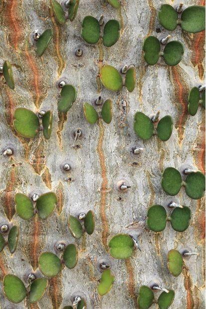 Фотограф-ботаник - Седрик Поллет. Дерево Аллуаудия, снимок сделан в Монако