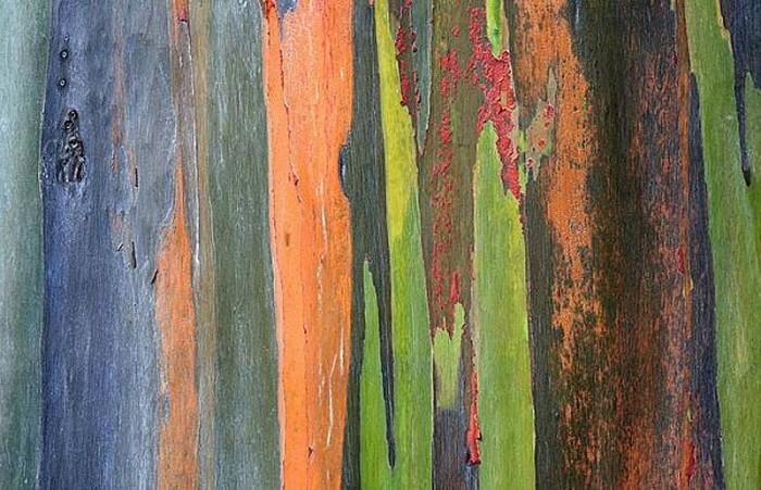 Фотограф-ботаник – Седрик Поллет. Кора радужного эвкалипта