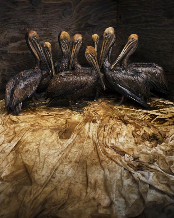 Снимок коричневых пеликанов, выпачкавшихся в нефти, с которым Дэниэль Бельтра победил в конкурсе  Wildlife Photographer
