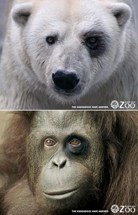 *Синяки* полученные в драке с новоприбывшими кенгуру. Реклама Buenos Aires Zoo