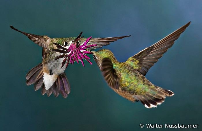 Конкурс на самое лучшее фото птиц. Третье место - колибри Каллиопа