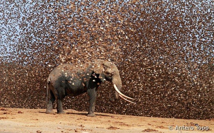 Фотография стаи красноклювых ткачиков на конкурсе World Bird Photo Contest