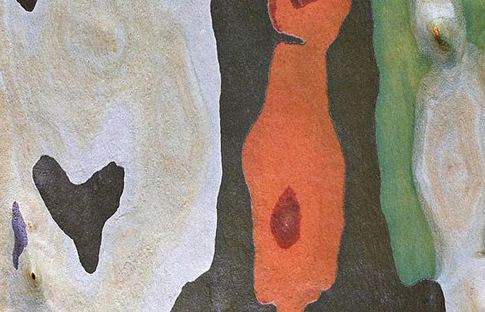 Разноцветные пятна на коре австралийского дерева Споттед Гам