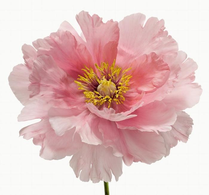 Один из Big Blooms