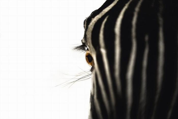 Зебра крупным планом на фотографии Майкла Патрика О'Лири