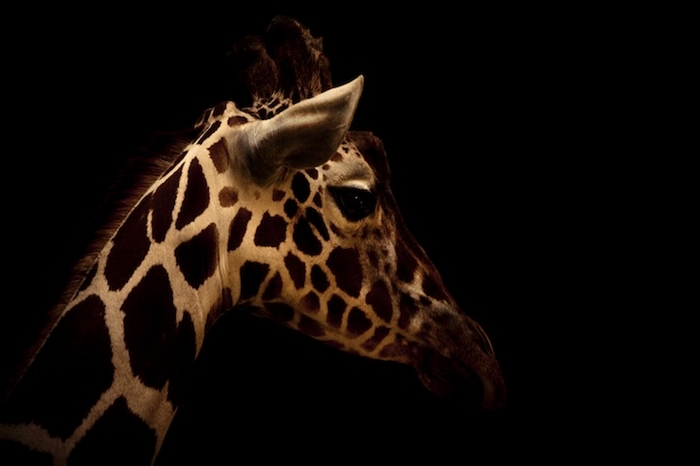 Жираф - одна из любимых фотомоделей О'Лири