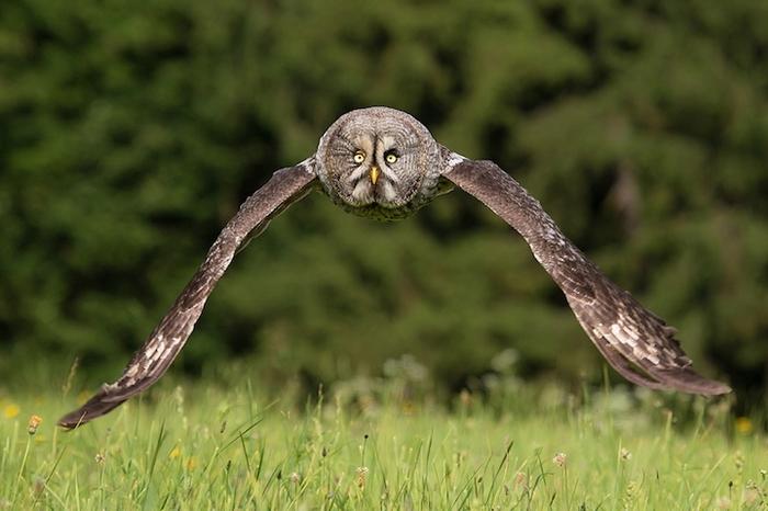 Летящая сова - любимая модель Зигмунта