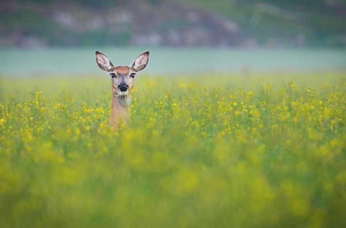 Олень в поле на снимке Конста Пукка.