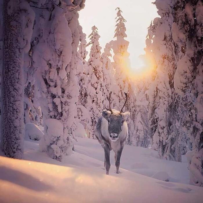 Прогуливающийся по лесу северный олень.