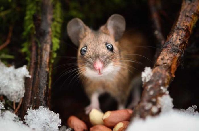 Лесной мышонок, получивший в подарок от фотографа горсть арахиса.
