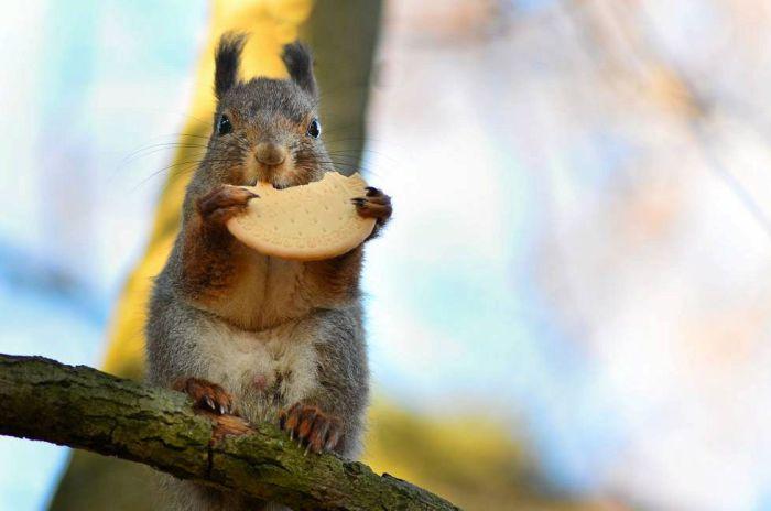 Белка, поедающая печенье на камеру финского фотографа дикой природы.