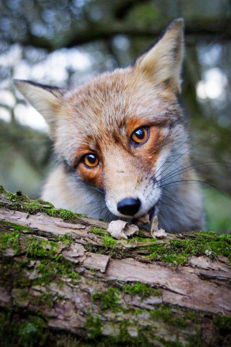 Лисичка и ее любимое лакомство.