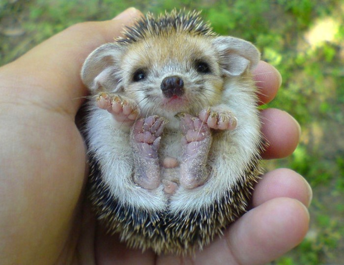 Детёныш ёжика - невероятно милое животное.